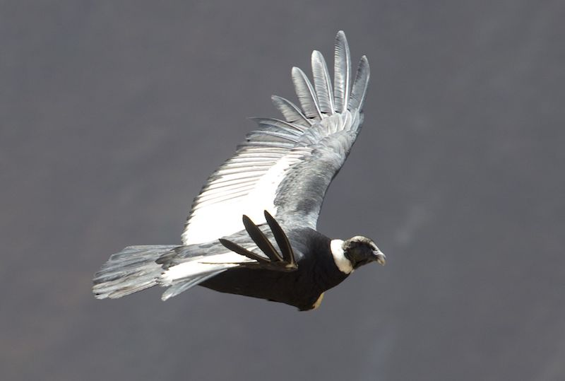 Chonta Andean Condor Sighting Tour Full Day